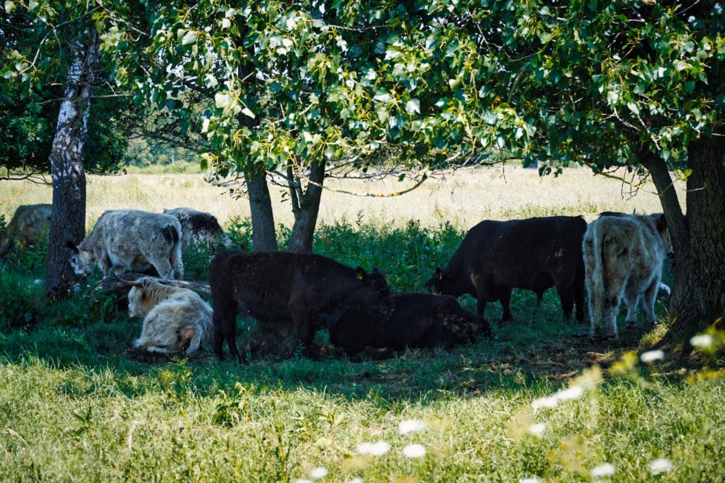 Die Rinder, von denen das Fleisch von EinStückLand stammt, führen ein Leben mit viel Auslauf.